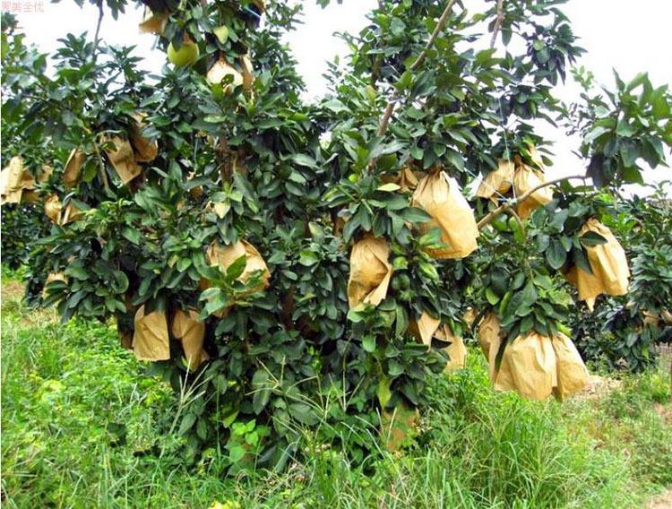 平和琯溪蜜柚